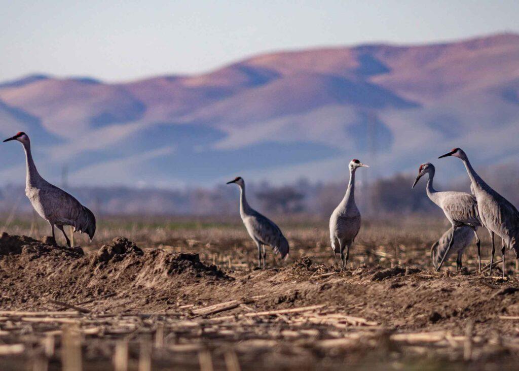 Lesser sandhill cranes near San Joaquin river valley
