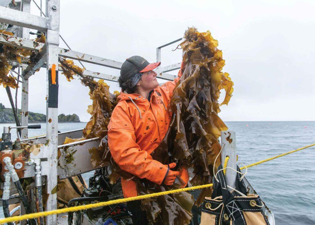 A Kodiak Kelp Company worker harvesting sugar kelp
